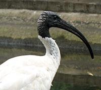 Australian White Ibis | Brisbane City Council
