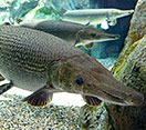 Image of an Alligator Gar fish