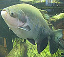 Image of a Black Pacu fish