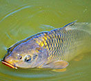 Image of a Carp fish