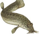 Image of a Chinese weatherfish