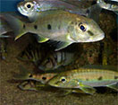 Image of a Yellow Belly Cichlid fish