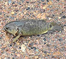 Image of a climbing perch fish