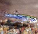 Image of a Gambusia fish
