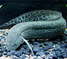 Image of a Marbeled lungfish