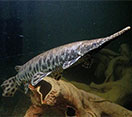 Image of a Spotted Gar fish