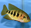 Image of a Tilapia mariae fish