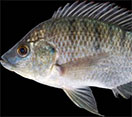 Image of a Tilapia fish