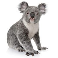 Image of a Koala which a white background